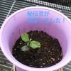 秘伝豆の発芽 その2