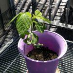 秘伝豆の成長 その3